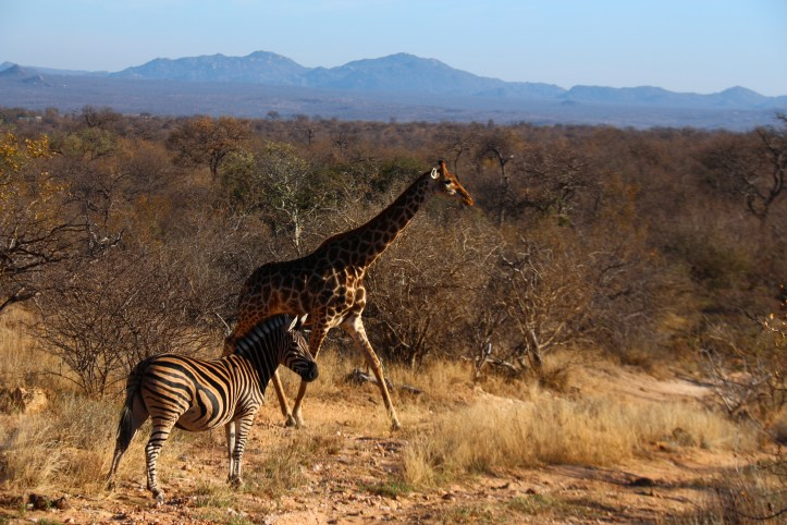 zebras and giraffes at Balule Reserve in Greater Kruger Park, South Africa