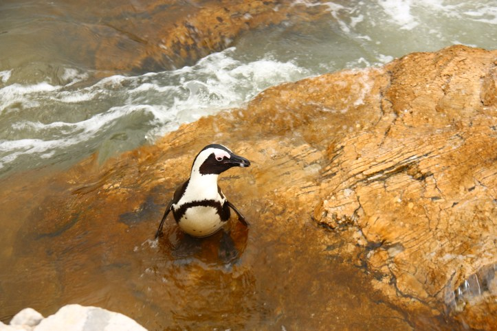jackass penguin on a rock, Stony Point South Africa