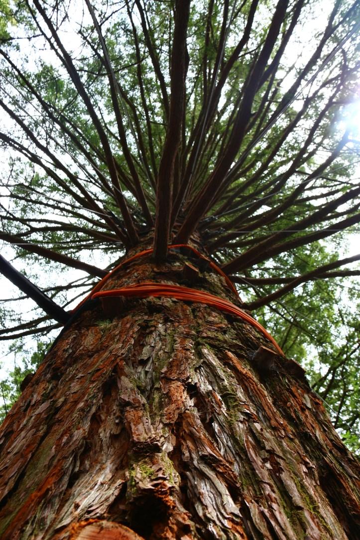 california redwood in Rotorua Treewalk , New Zealand