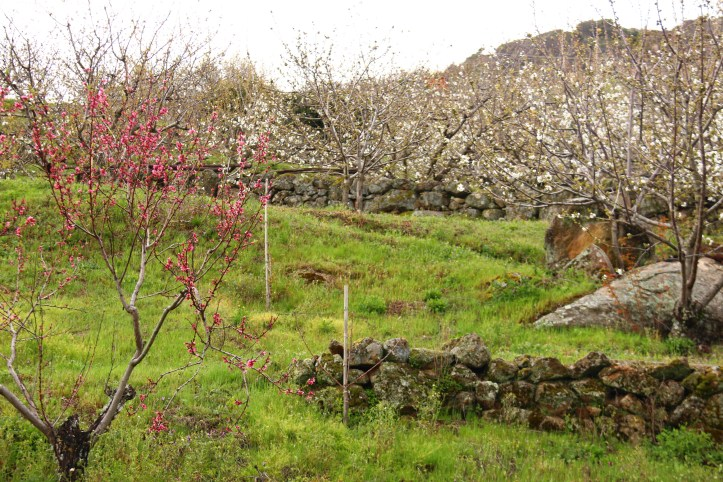 cherry trees extremadura valle del jerte