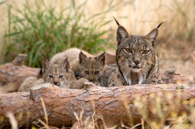 Reasons to visit Spain: iberian lynx world's rarest cat, in donana natural reserve Spain
