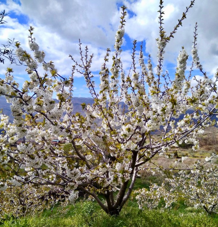 spain hanami extremadura valle del Jerte flowering cherries
