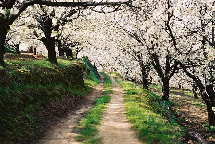 valle del jerte blooming cherry trees hanami in spain
