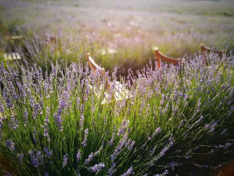 Lavender fields of Brihuega, Festival de la lavanda