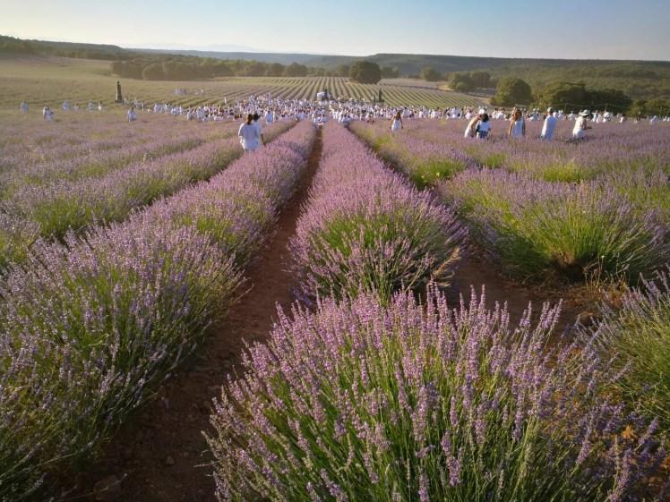 Lavender fields of Brihuega, Festival de la lavanda people dressed in white