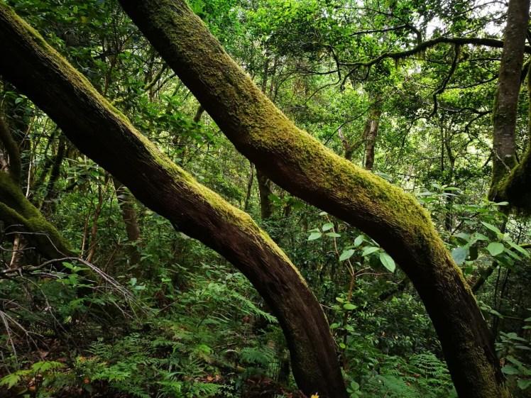 Laurisilva laurel tree forests in Garajonay National Park