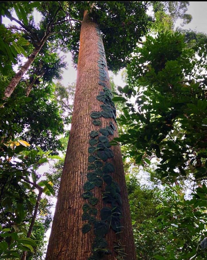 sukau rainforest lodge the rainforest giants dipterocarp
