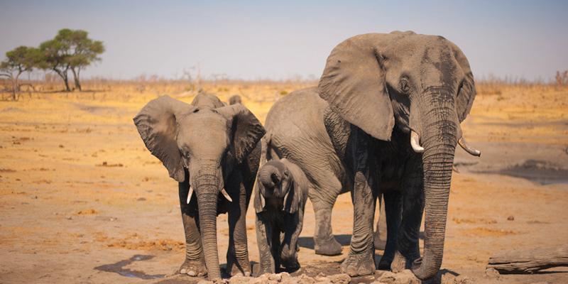 Wild elephants in Zimbabwe.