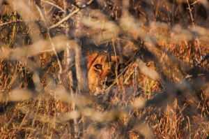 A wild lioness peers out of the bush.