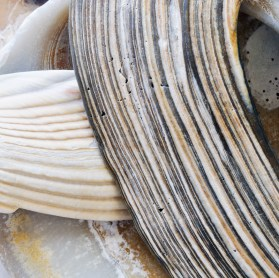 Shell on Shell II- archival inkjet print on cotton rag paper Image courtesy of Celia Pearson