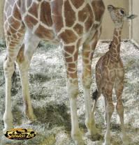 anotherbabygiraffe2