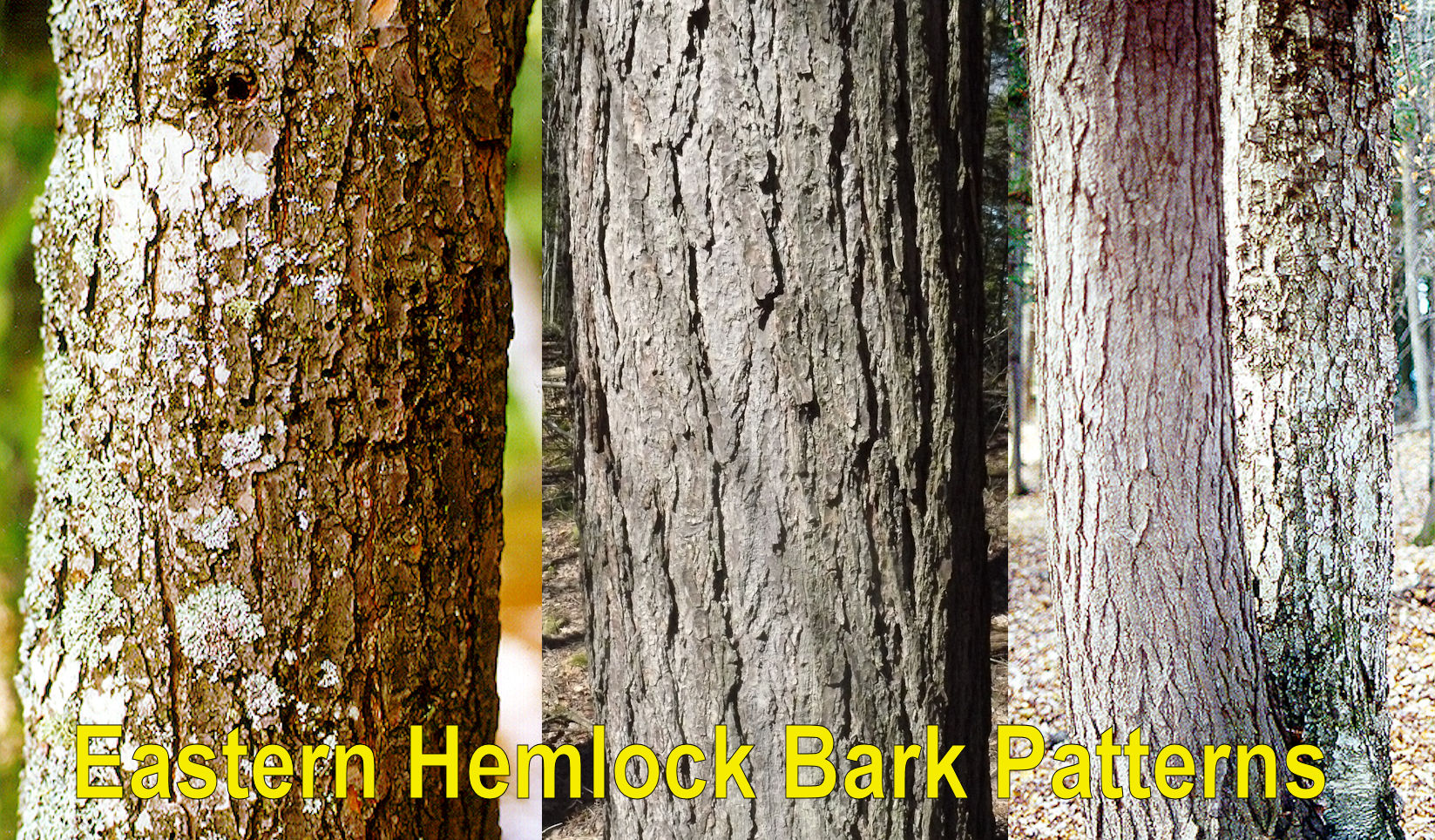 Hemlock Fir Tree