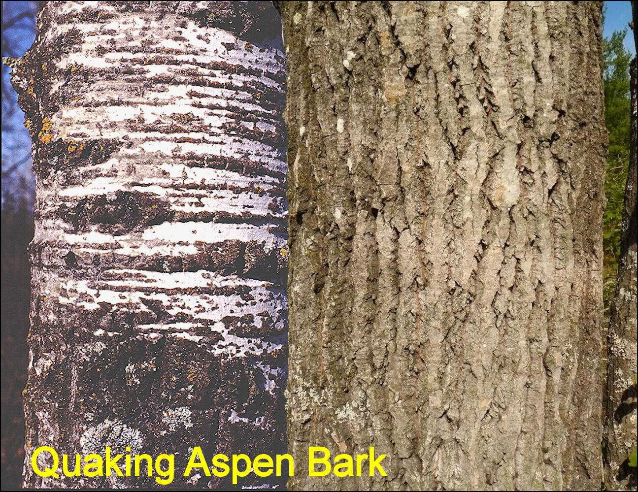 Aspen Vs Poplar Vs Birch