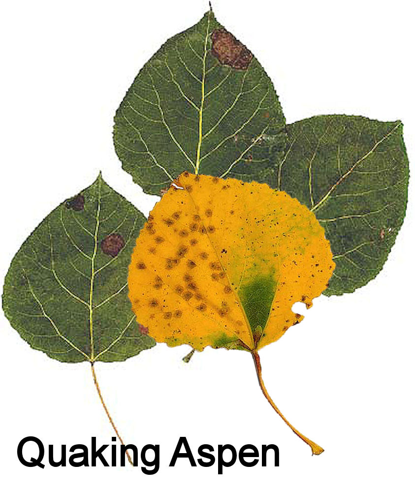 Aspen Vs Poplar