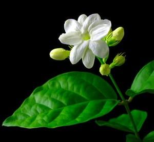 Jasmine-Plants1-300x277