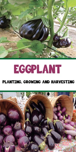 Eggplant - Planting, Growing and Harvesting