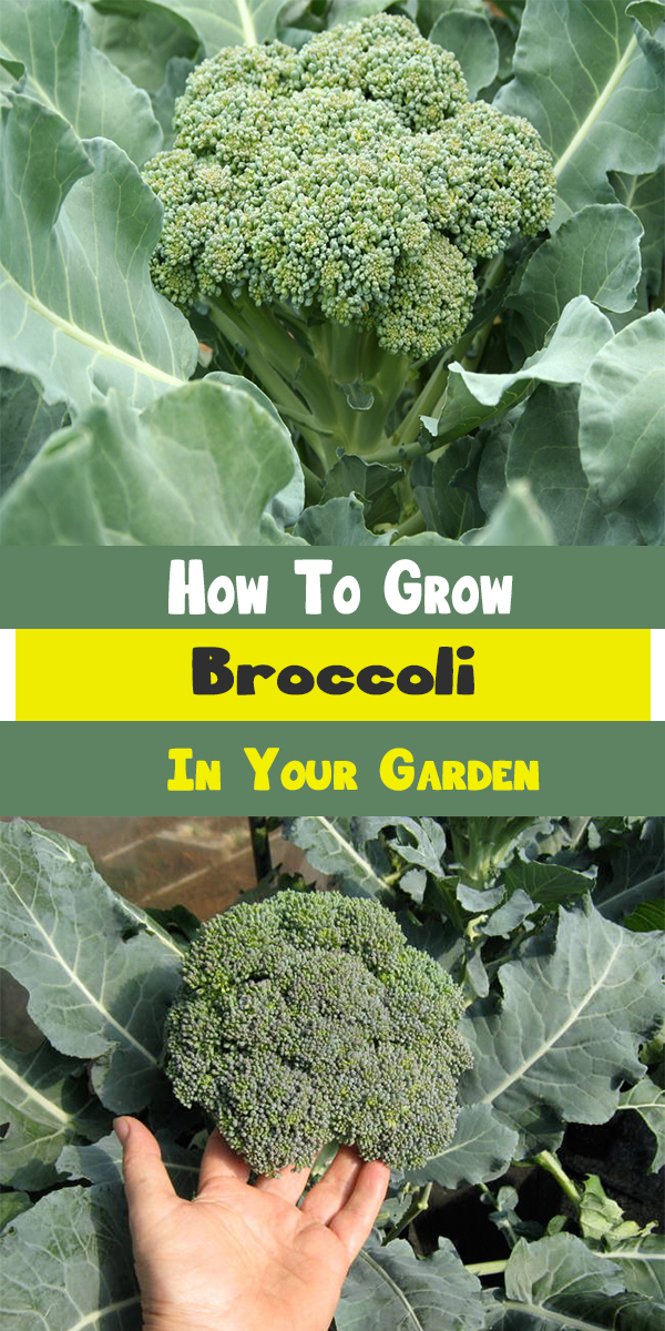 How to grow broccoli in your garden for Plants to grow in garden