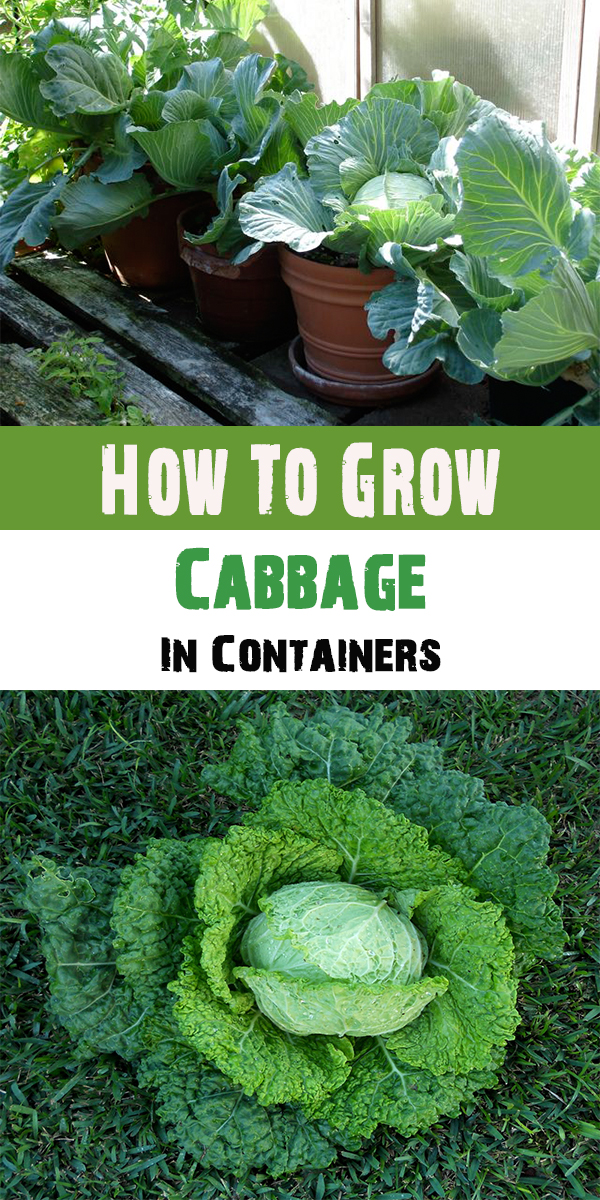 How To Grow Cabbage In Containers