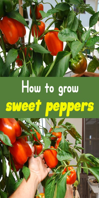 How to grow sweet peppers 1