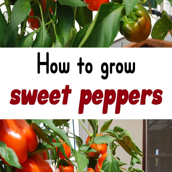 How To Grow Sweet Peppers Urban Gardening Ideas