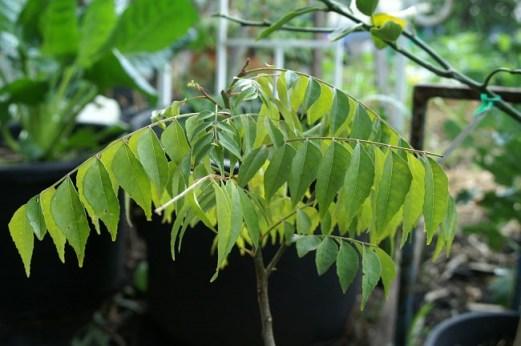 curry-tree