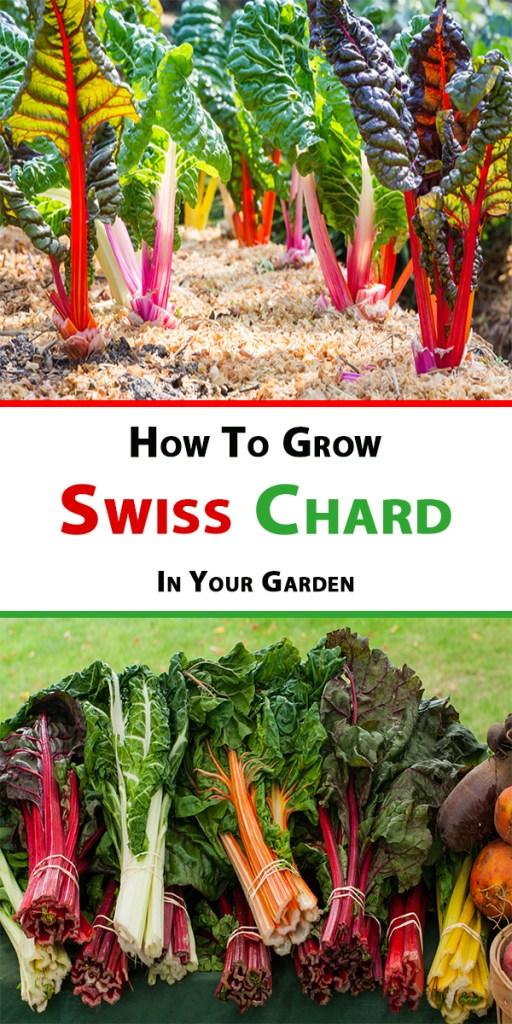 How To Grow Swiss 2