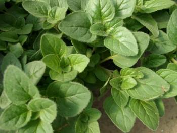 medicinal-plants-to-grow-at-home11