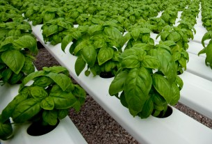 greenhouse-grown-basil