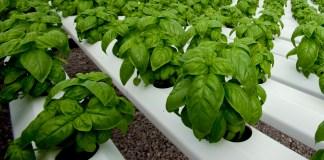 greenhouse-grown-basil