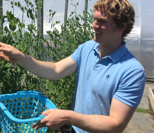 Sam Wells (Picking Snap Peas at Renewal Farm in Garrison, NY) (1)