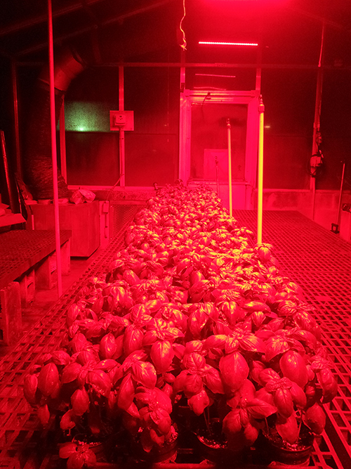 Basil plants exposed to light from red LEDs