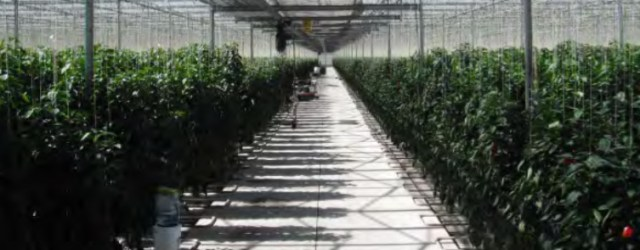 Richard Billekens' company was the first one in Mexico to grow peppers in glass covered greenhouses.