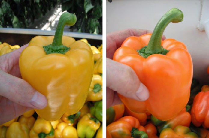richard-billekens-greenhouse-grown-peppers-copy