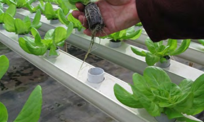 Since lettuce is a relatively short term crop compared to other greenhouse vegetables, a grower has to make sure that he starts out with a consistent substrate. Photo courtesy of jiffy Products of america