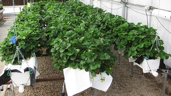 38d02bdffaa6 Strawberries can be adapted to greenhouse production systems - Urban ...