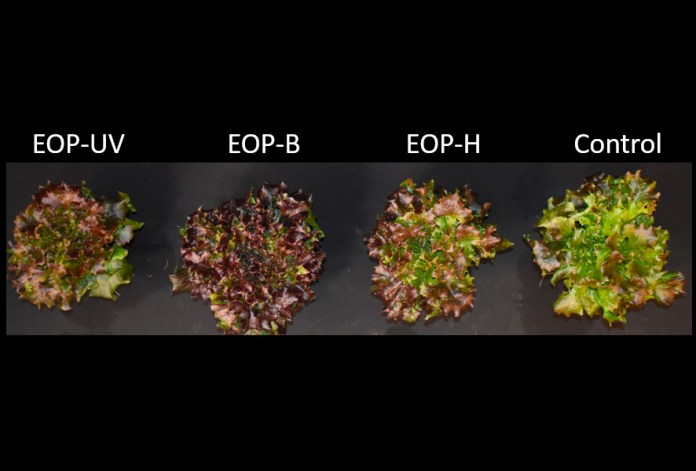 Kalera and University of Florida LED Lighting Study Sheds New Light on Cost-Effective Modes of Increasing Nutritive Value in Lettuce