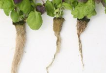 root rot disease management