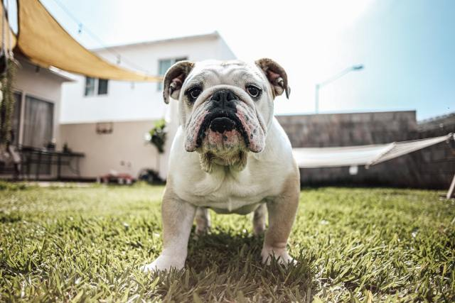 What To Know About The American Bulldog