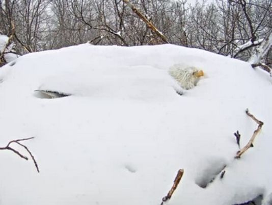 A bald eagle protects her eggs. (Photo: Pennsylvania Game Commission)