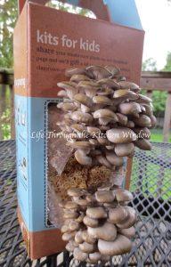 Mushroom Growing Day 9 | © Life Through the Kitchen Window