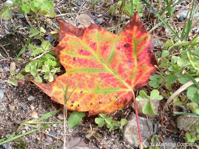 Lake Lauzon Maple Leaf | © Marlene Cornelis
