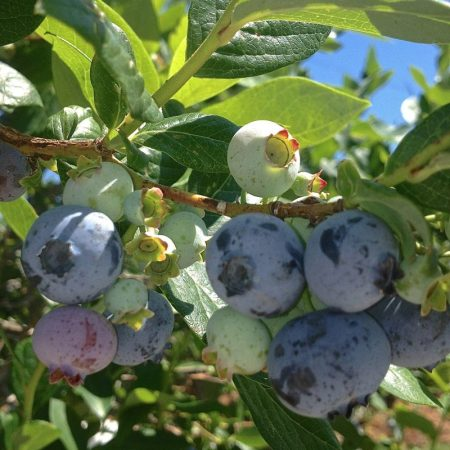 Blueberries Ready for Picking | © Life Through the Kitchen Window