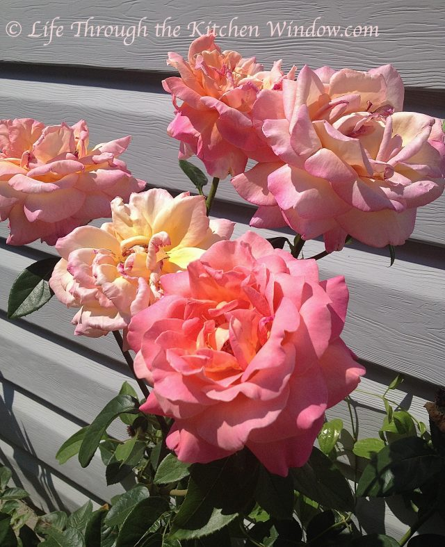 Mom's Roses | © Life Through the Kitchen Window.com