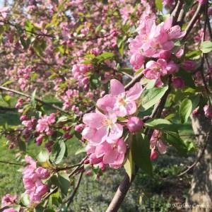 Spring Blossoms - May 9, 2015 | © Marlene Cornelis