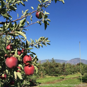 Okanagan Apples | © Urban Cottage Life.com
