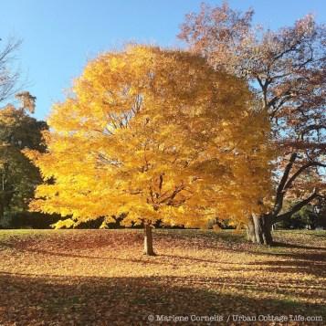 Autumn Gold 2015 | © Marlene Cornelis / Urban Cottage Life.com