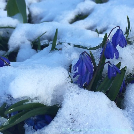 Spring Flowers, Spring Snow | © UrbanCottageLife.com