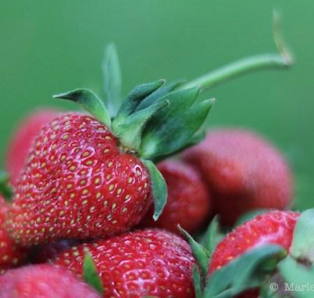 Fresh Local Strawberries |© UrbanCottageLife.com