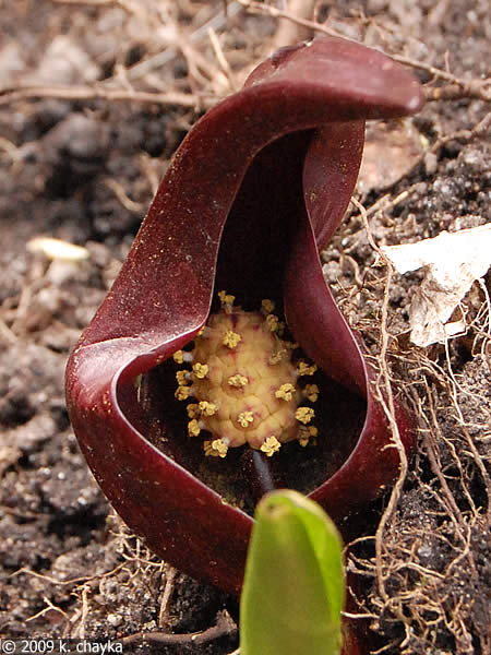 Native Plant Eastern Skunk Cabbage