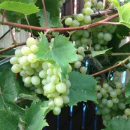 Grapes at the house.